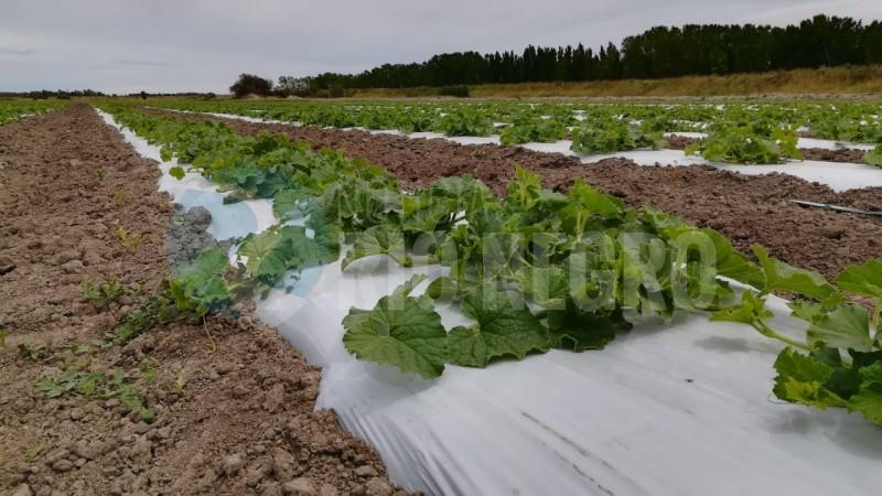 cultivo, plantacion, melones