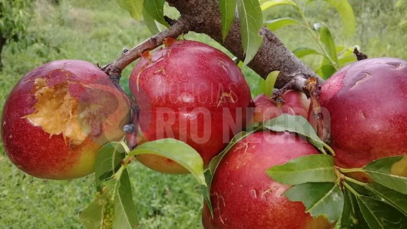 granizo, fruticultura
