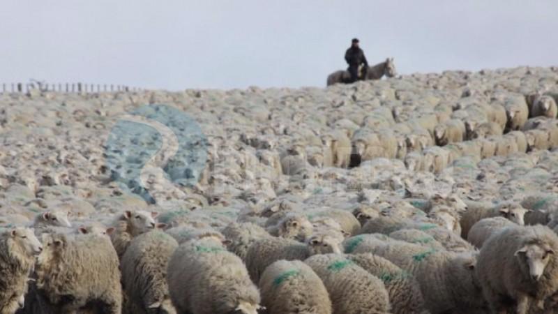 ovejas, arreo ovino