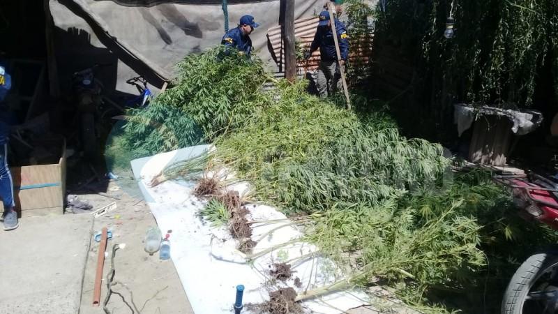 cipolletti, marihuana