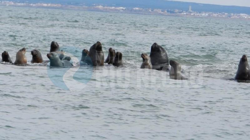 lobos marino, lobos sao