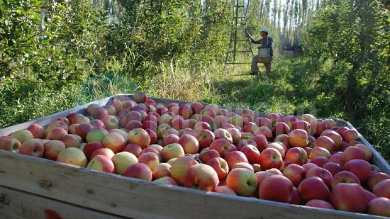 manzanas, CHACRA
