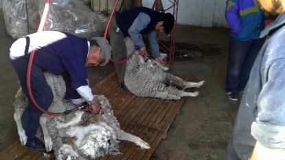 ovejas esquila