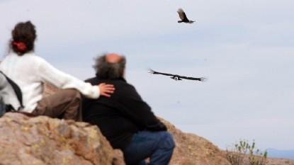 liberan condor