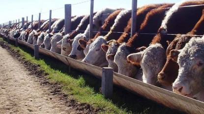feedlot, vacas