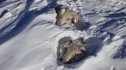 nevada, region sur, ovejas
