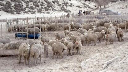 ovejas, sequia