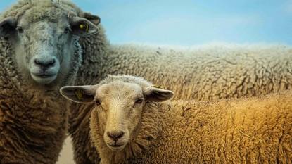 ovinos, ovejas