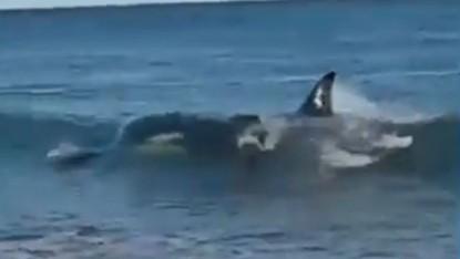 lobo marino, orca, ensenada