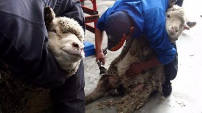 esquila lanar