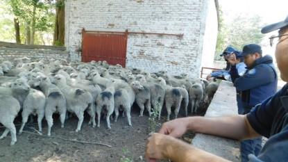 allanamiento, ovejas
