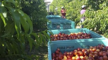 trabajadores golondrinas, manzana, COSECHA