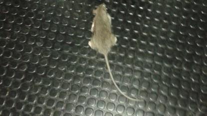 ratas, roedores, poder judicial