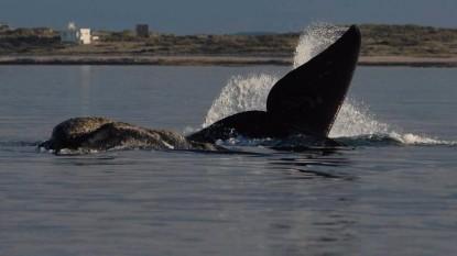 ballena azul, fauna marina, avistaje maritimo