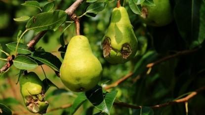 producción de pera afectada