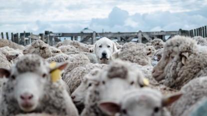 PERRO, ovejas